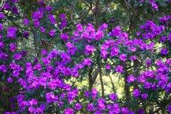 Purple flowers. Blooming purple tree Stock Photo