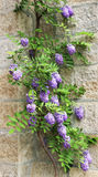 Purple flowers, blooming wisteria Royalty Free Stock Image