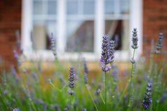 Purple flowers blossoming in spring time with blur window Royalty Free Stock Image