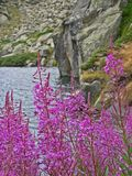 Purple flowers and blossoms buds. Landscapes, forrests, nature, mountains stock image