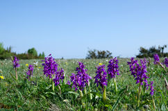 Purple flowers at blue sky Royalty Free Stock Photography