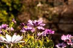 Purple flowers with blurred background. Purple flowers with blured background - green and brown colors stock image