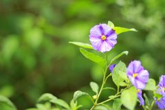Purple flowers on blurred background. A bush with purple flowers on blurred background Royalty Free Stock Photo