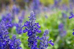 Purple flowers blurred background. Purple flowers blurred background in garden Stock Images