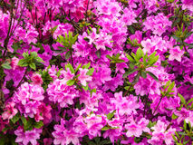 Purple Flowers. In The Botanical Garden Royalty Free Stock Photo