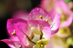 Purple flowers of bougainvillea Royalty Free Stock Photo