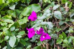 Purple flowers of bougainvillea. Aberdare, Kenya. Africa royalty free stock photography