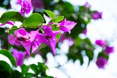 Purple flowers of bougainvillea tree. Selective focus royalty free stock image