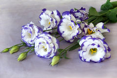 Purple flowers. Bouquet of white chinese rose with purle edging Stock Photography