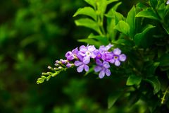 Purple flowers are a bunch of green. Backgrounds blurred Royalty Free Stock Photo