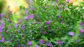 Purple flowers. Bush in the garden on nature background stock video