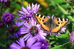 Purple flowers with butterfly , autumn scenery in the Sumava Mountains, Stodulky, Czech Republic Royalty Free Stock Photo