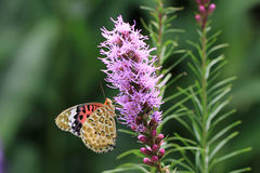 Purple flowers and butterfly Stock Photography