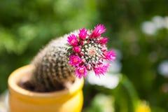 Purple flowers on cactus Royalty Free Stock Photos
