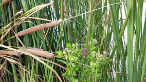 Purple Flowers in Cattails stock images