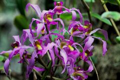 Purple flowers of Cattleya maxima orchid. One cluster of the purple flowers orchid Cattleya maxima is in full bloom. Cattleya maxima is a species of orchid in stock images