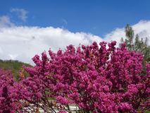 Purple flowers on cercis bush in city park. Bright purple flowers on blooming judas tree against blue sky with white clouds Stock Image