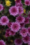 Purple flowers. Chrysanthemum - herbaceous perennials and annual Stock Photos