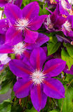 Purple flowers of clematis plant. Large purple flower blooms on clematis plants against green foliage background Royalty Free Stock Image