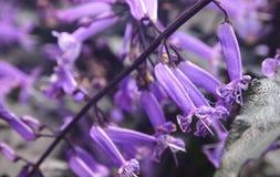 Purple flowers Royalty Free Stock Image