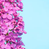 Purple flowers close up on blue background. Beautiful purple flowers close up on blue background Royalty Free Stock Photo