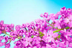 Purple flowers close up on blue background Royalty Free Stock Images