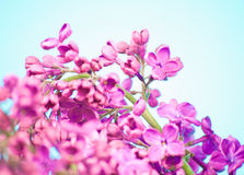 Purple flowers close up on blue background Royalty Free Stock Photography