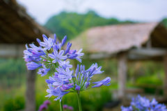 Purple flowers close up. Blur background Royalty Free Stock Images
