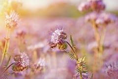 Purple flowers closeup Royalty Free Stock Photography