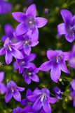 Purple flowers. Closeup of delicate purple flowers Royalty Free Stock Images