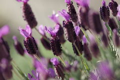 Purple flowers Royalty Free Stock Photos