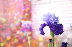 Purple flowers with colorful background. royalty free stock photo