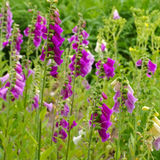 The purple flowers Common Foxglove. In summer Stock Image