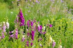 The purple flowers Common Foxglove. In summer Royalty Free Stock Photography