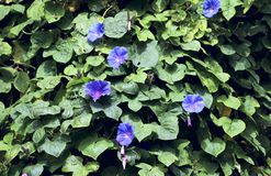 Purple flowers of Convolvulus on a background of green leaves on a sunny day. royalty free stock photo