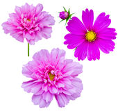 Purple flowers cosmos Royalty Free Stock Image