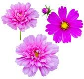 Purple flowers cosmos Royalty Free Stock Image