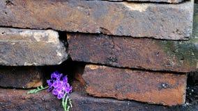 Purple flowers in the crack between brick stones. Beautiful purple flowers in the crack between old brick stones Stock Photos