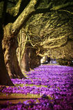 Purple flowers of crocuses in the city park. Poland. Szczecin. Purple flowers of crocuses grow under the centuries old trees in the city park Stock Image