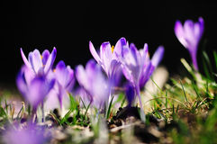 Purple flowers crocuses on meadow in nature, beautiful spring flowers.  Stock Photo