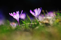 Purple flowers crocuses on meadow in nature, beautiful spring flowers.  Royalty Free Stock Images