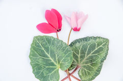 Purple flowers of cyclamen and leave. Purple flowers of cyclamen in small posy Stock Image