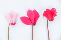 Purple flowers of cyclamen Stock Photography