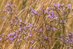 Purple flowers with dry grass in summer field. Blooming concept. Herb and flowers background. Aroma lavender concept royalty free stock photos