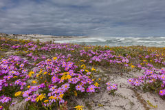 Purple flowers on the dunes Royalty Free Stock Photo