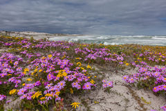 Purple flowers on the dunes Stock Images