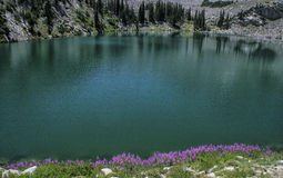 Purple Flowers on the Edge. Fire Weed flowers in full bloom on the edge of white Pine lake that sits up in the Wasatch mountains of Utah USA close to Alta and Stock Image
