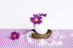 Purple flowers in  eggshells. Easter decoration with purple primroses flowers in the eggshell  isolated on white Stock Photos