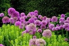 Purple Flowers in an English Garden. Purple blooming flowers adorn an English garden in Bath stock photo