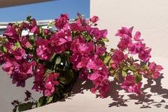 Purple flowers of the evergreen shrub Bougainvillea. Santorini Island Royalty Free Stock Images